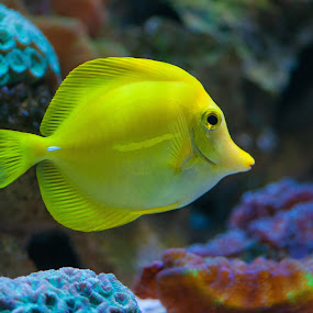 yellow fish by Kitty Bern - Animals Fish ( marine, water, wild, coral, reef, underwater, fish, tropical, dive, wildlife, sea, ocean, travel, beach, vacation, corals, nature, blue, background, scuba, scuba-diving, diving, animal )