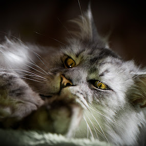 Sweet idleness... by Joanna Maciszka - Animals - Cats Portraits ( cat, maine coon, male, paw, eyes )