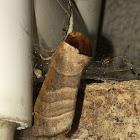 Datana Moth