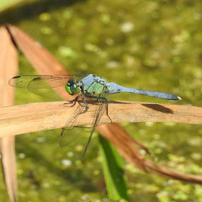 Dragonfly by Kelly Bowers - Animals Insects & Spiders ( #dragonfly )