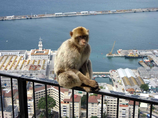 Gibraltar-Barbary-Macaques - The famed Barbary Macaques make themselves seen on the Rock of Gibraltar.