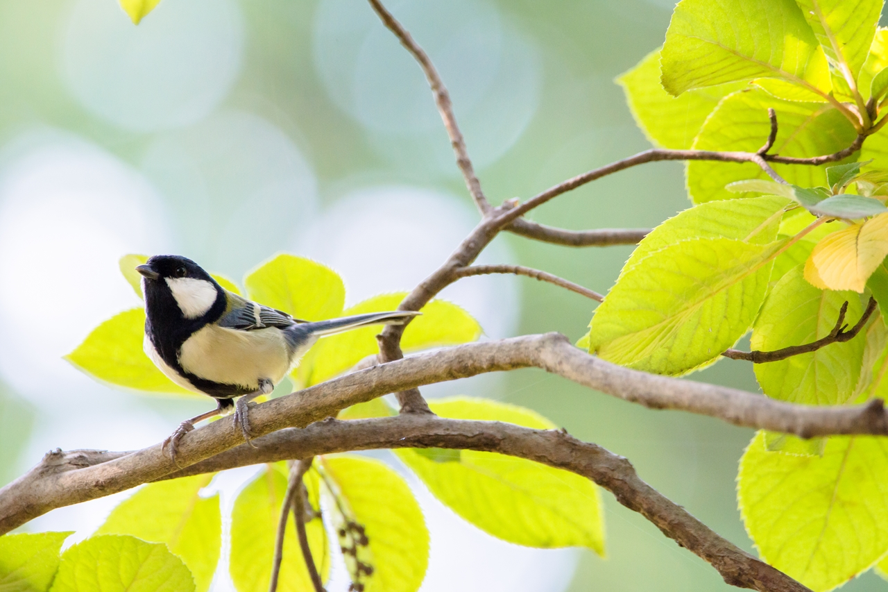 Photo: 放つ光 Spread of light.  森は輝く 活き活きと 褪せゆく木々が 今を輝かす  Japanese Tit. (シジュウカラ)  #birdphotography #birds #cooljapan #kawaii #nikon #sigma  Nikon D7200 SIGMA 150-600mm F5-6.3 DG OS HSM Contemporary  大塩貴文 写真展『まなざし』 2015年11月20日[金]-29日[日] < http://islandgallery.jp/12134 >