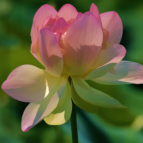 Lotus flower by Valerie Dyer - Flowers Single Flower ( lotus flower, nature )