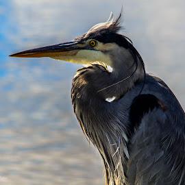 grand héron  by Patrick Robert - Animals Birds ( great blue heron, animal, grand héron, wildlife )