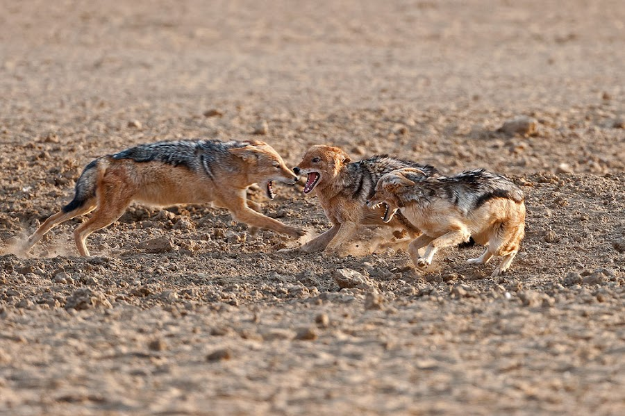 Ranking by Johan Mocke - Animals Other ( meeting, jackals, black backed, squabble, sorting, fighting, ranking, hierargy )