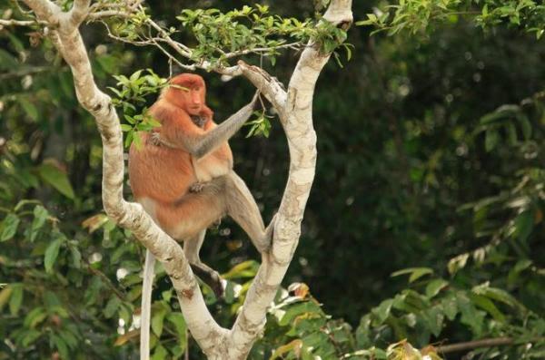 Santuário de Macacos Proboscis da Baía de Labuk