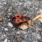 European Firebug