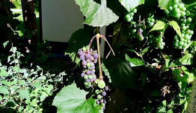 Photo: meine Trauben beginnen sich auch schon zu färben - der Herbst ist nicht mehr weit, obwohl der Sommer heuer gar nicht in Fahrt kam