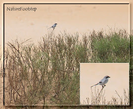 Photo: Varfågel - Lanius algeriensis - Southern Grey Shrike NF Photo 121111 Tamri Nat Park http://nfmoroccobirds.blogspot.se/2013/01/varfagel-lanius-algeriensis-southern.html