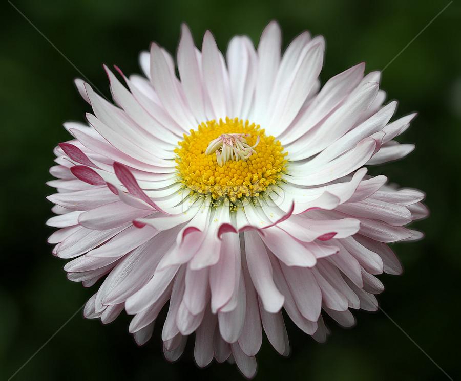 Daisy by Nikola Vlahov - Flowers Single Flower ( showy, petals, daisy, bokeh, close up, flower )