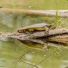Soft Shelled Turtle