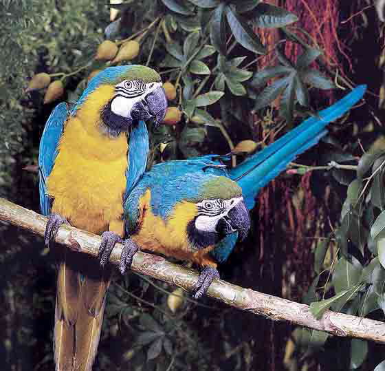 The blue and gold macaw is the most common macaw species kept as a pet in the United States