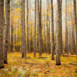 by Dana Johnson - Landscapes Forests ( forest, pine trees, autumn, trees, lanscape )