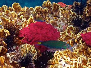 Photo: moon wrasse, hot pink soft coral and golden hard coral, Koh Chabang