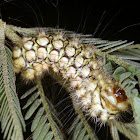 Norape caterpillar