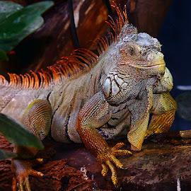 Qui va là ? by Gérard CHATENET - Animals Reptiles