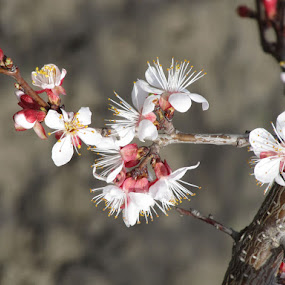 Spring 2015 Blossons by Michael Krivoshey - Flowers Tree Blossoms ( macro, beautiful, close up, spring, blossom,  )