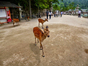 Photo: Deers set free near the World Heritage site Itsukushima Shrine (http://en.wikipedia.org/wiki/Itsukushima_Shrine) in Miyajima island, Hiroshima.  20th June updated (日本語はこちら) - http://jp.asksiddhi.in/daily_detail.php?id=578