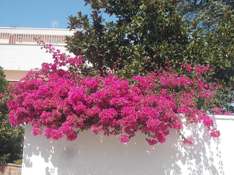 Bouganville in fiore di Pretoriano