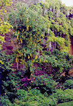 Photo: Milton's Town Hall Garden has Fern Ridge's brushstrokes all over it - Golden Chain Tree and Wisteria look stunning together.