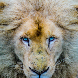 Lion by Garry Chisholm - Animals Lions, Tigers & Big Cats ( nature, mammal, big cat, lion, garry chisholm )
