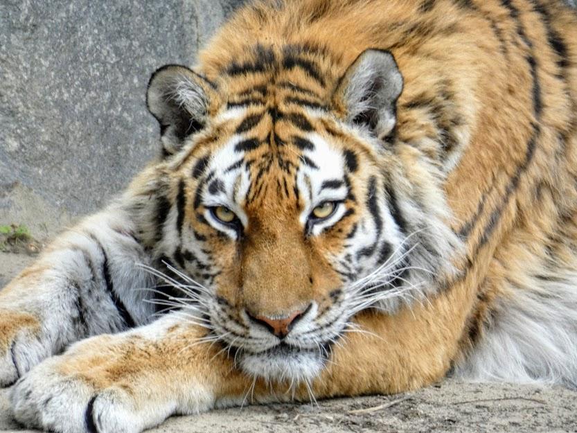Dorosły tygrys sumatrzański