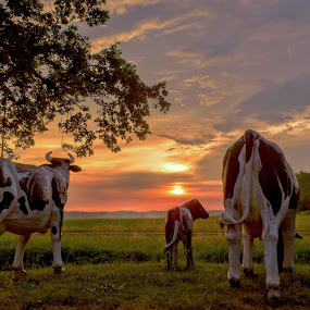 Cows at sundown by Anita Meis - Animals Other Mammals ( sky, color, cows, netherlands, sun, high dynamic range, orange, hdr, sunset, farming, evening, dairy, landscape )