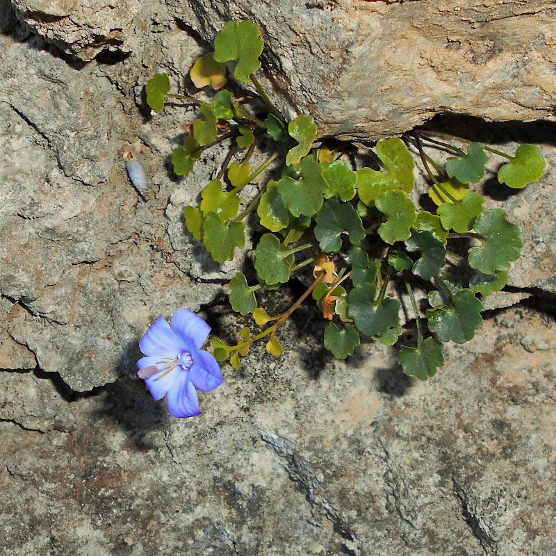 Fiore di montagna di angela_d