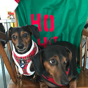 Mikey and Frankie by Ann Goldman - Animals - Dogs Portraits ( brothers, dachshunds, hotdogs, dogs, weinerdogs, cute, pairs )