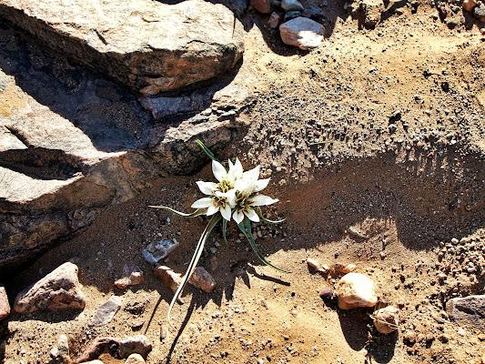 desert flower di Ale Brigante