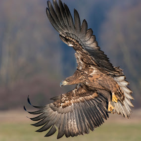 Turn by Blaž Ocvirk - Animals Birds ( eagle, white, tailed )