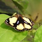 Yellow Pansy, male