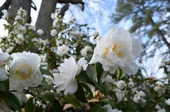 Photo: Camellia 'Snow Flurry' in Lucy Payne Minor Garden