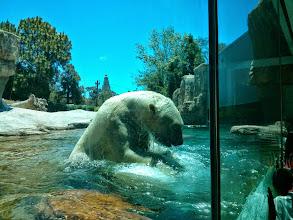 Photo: Giant Playful Polar Bear