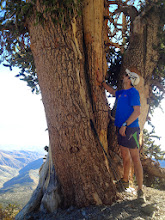 Photo: I have a deep respect for this wise old Bristlecone Pine. I huddled near it several winters ago when I hiked to the summit in the winter.