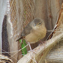 House Wren - Curruíra