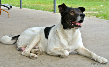 Photo: Male dog - might be the daddy. Nice, friendly boy.