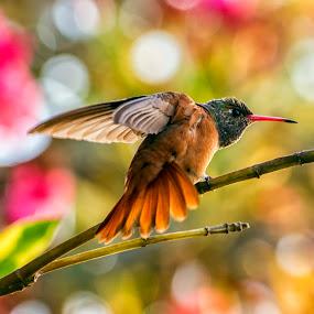 Amazilia Amazilia in the garden by Maritere Izaguirre - Animals Birds ( #maritereizaguirre, #nature, #animals, #birds, #humminbird, #peru, #lima )