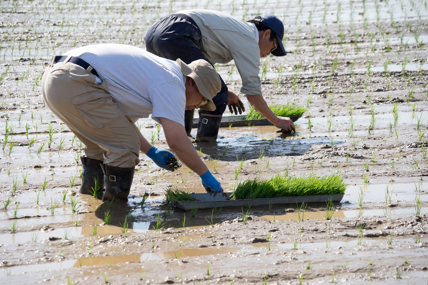 【No.10】空知農業改良普及センターの水稲生育調査の苗植え