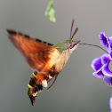 African Hummingbird Hawk-Moth