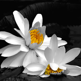 Two Lovely Ladies by Joan Sharp - Flowers Single Flower ( white, waterlilies, black, yellow, lilypads,  )