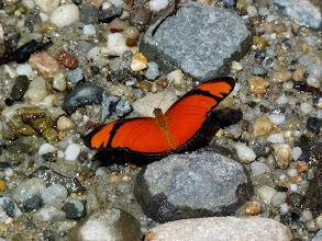 Photo: JULIA--dryas iulia--MANGROVES IN MANZANILLA, COLIMA--1-23-2011