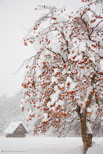 Photo: A persimmon tree still with fruit in mid-winter. Shot at the Unesco registered town of Shirakawago in Gifu Prefecture.