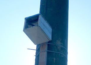 Photo: Female purple martin guarding baby in nestbox