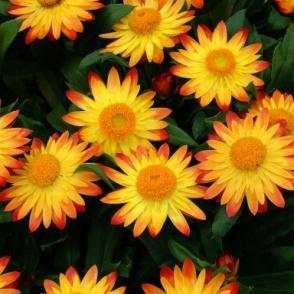 Image result for bracteantha sundaze flame