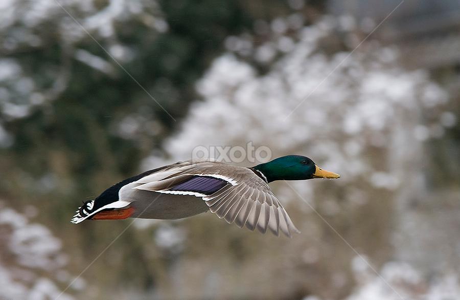 by Allan Wallberg - Animals Birds