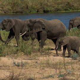 Elephants  by David Botha - Animals Other ( mammal, elephants, beauty in nature, water, wildlife )