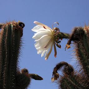 Cactus flower by Joseph Escopin - Nature Up Close Flowers - 2011-2013 ( blue sky, desert plant, lanzarote, flower, cactus )