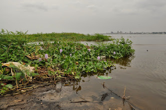 Photo: invasive water hyacinth on the Congo River