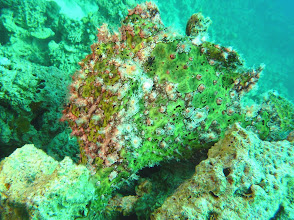 Photo: #020-Antennaire ou Frogfish